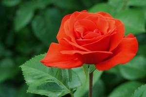 rosa roja en el centro